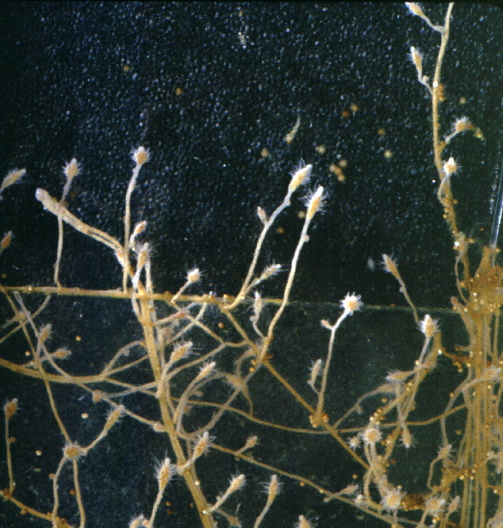 Cordylophora lacustris, a hydroid
