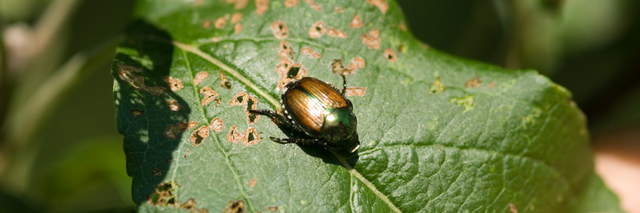 UMaine Extension: Insect Pests & Plant Diseases