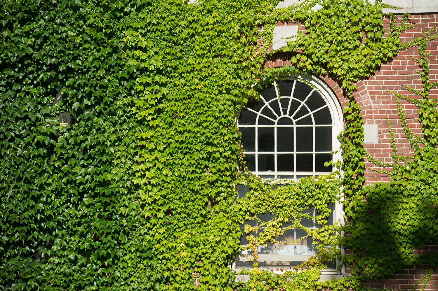 Ivy encroaching on a window at Stevens Hall
