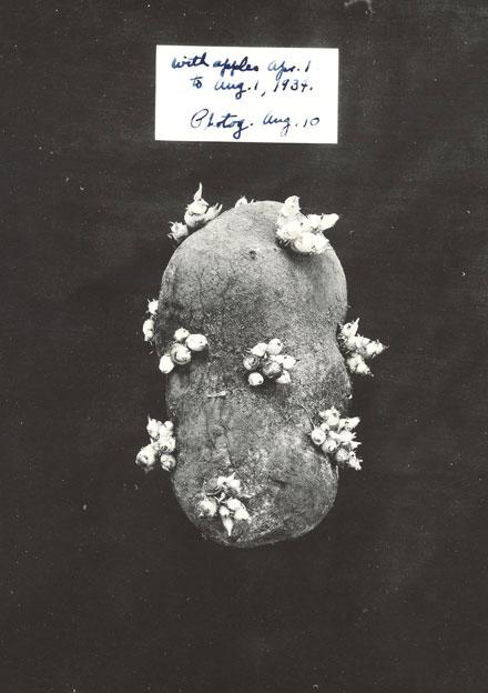 AF-historic-15-1932-potato