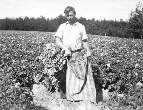 AF-historic-roguing-69-1932-potatoes