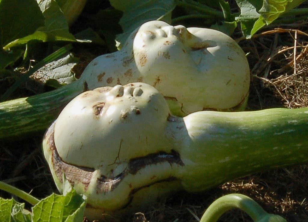 Gourds in the Garden 2