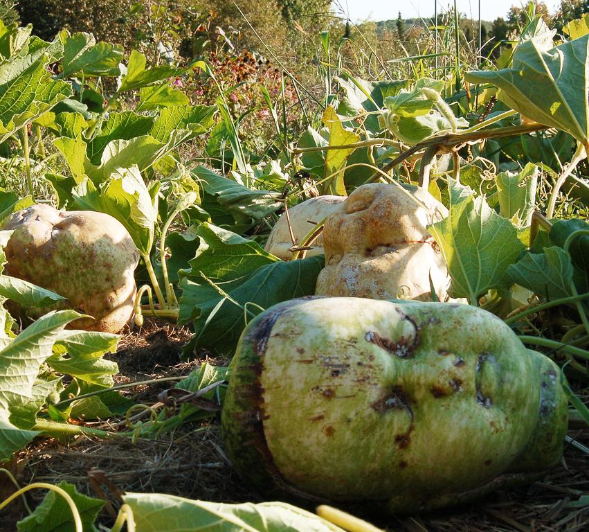 Gourds in the Garden