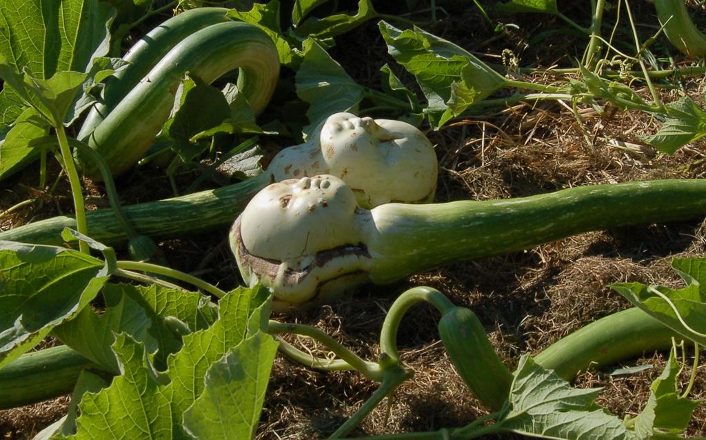 Gourds in the garden 3