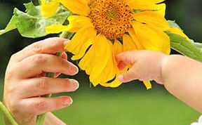 Child hands holding Sunflower