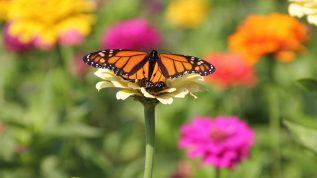Butterfly on daisy in field of flowers