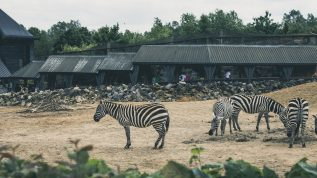 Group of zebras in a zoo