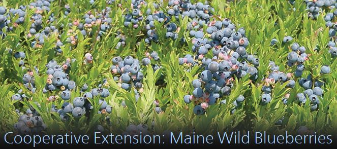 Link to Cooperative Extension Maine Wild Blueberries web site