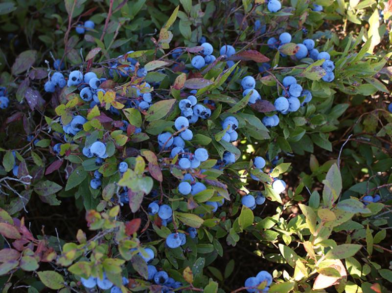 6 bhf blueberries