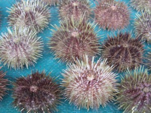 sea urchins (1)