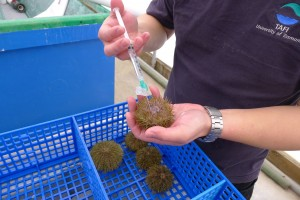 Green sea urchin being injected with potassium chloride