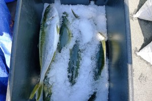 freshly harvested yellowtail