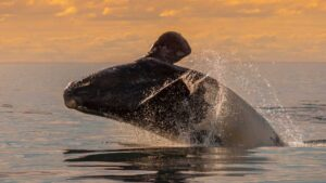 right whale photo