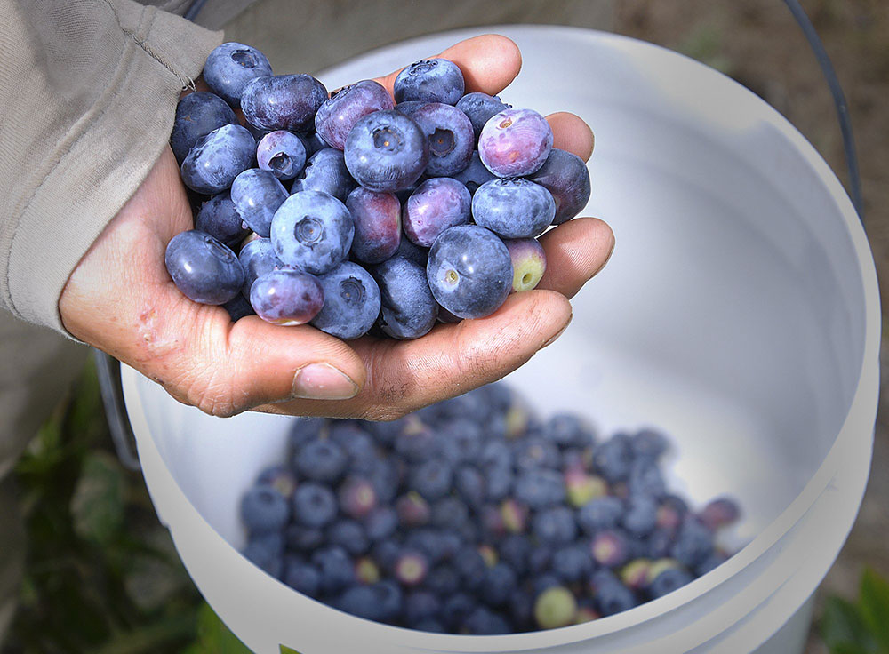 Hand holding local blueberries