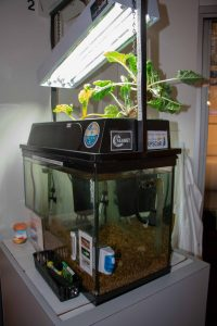 Aquaponics tank installed at the Challenger Learning Center of Maine with fish and plants growing in the top