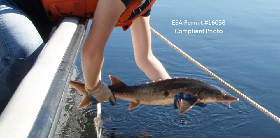 Shortnose sturgeon being released back into the Penobscot River