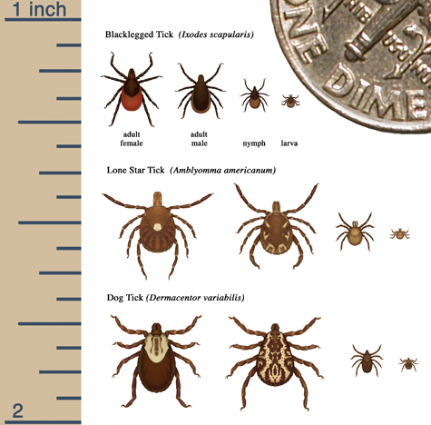 Relative sizes of all life stages of blacklegged ticks, lone star ticks, and dog ticks