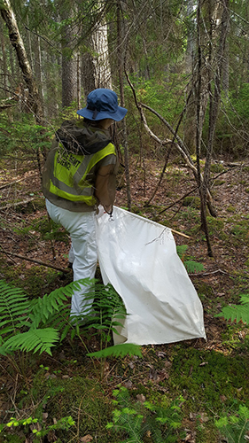 Dragging sheet across forest floor collecting ticks