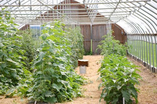 hoophouse-crops