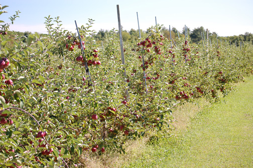 staked apple trees