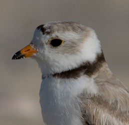 piping plover_hecker