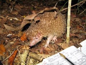 Greater Hedgehog Tenrec, Madagascar
