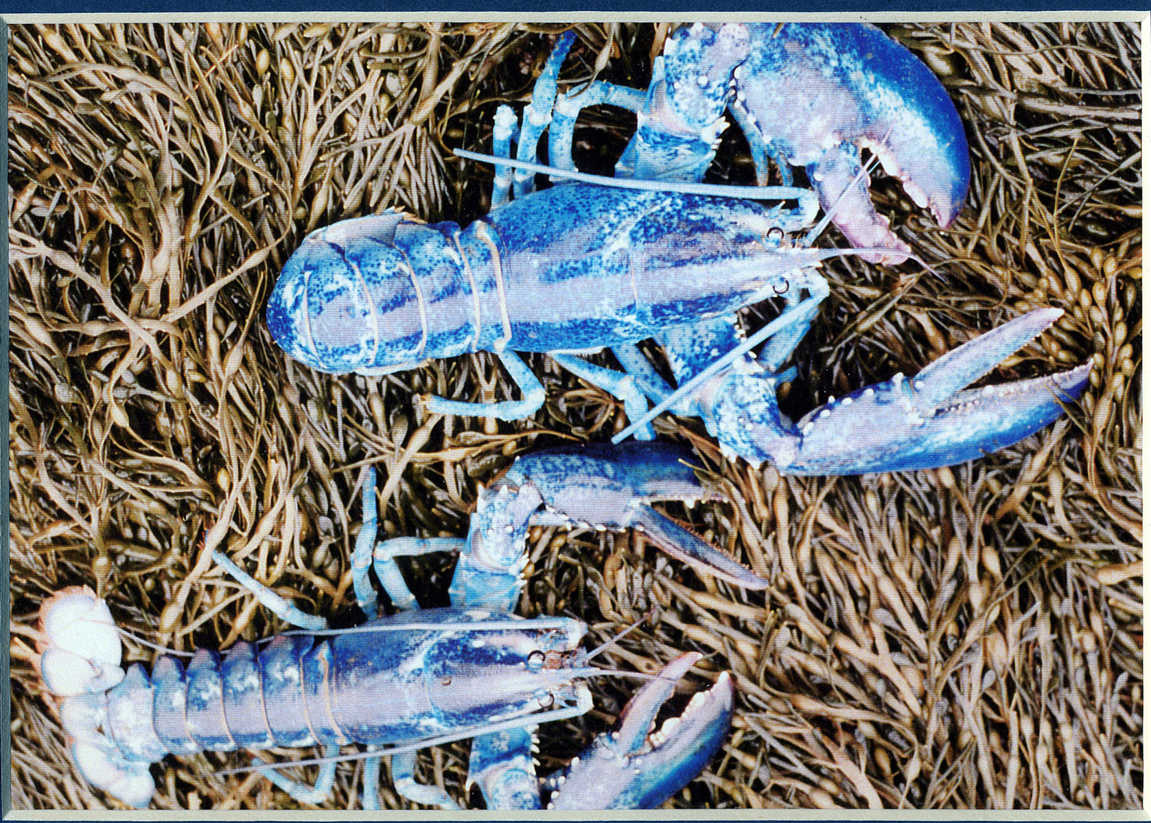 U Maine Lobster Institute Colorful Lobsters - Lo...