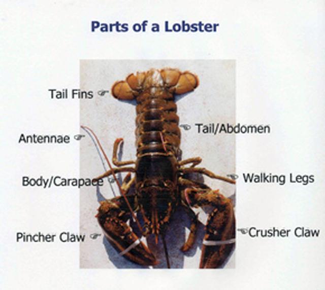 Anatomy Biology Lobster Institute
