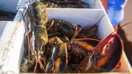 Lobsters in a cooler at sea