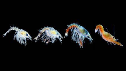 Lobster larvae News feature