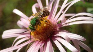 bee flower maine pollinator umaine research