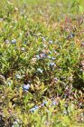 Wild blueberries from Blueberry Hill Farm