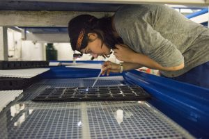 Student working with fish larvae at the Aquaculture Research Center.