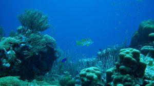 Bonaire reef steneck marine