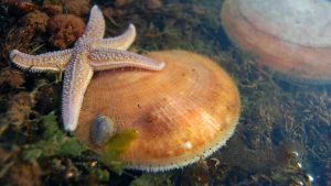 scallop sea star marine