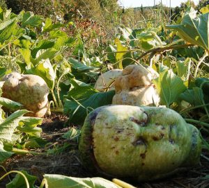 Gourds in the garden project