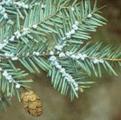 wooly adelgid on hemlock branch