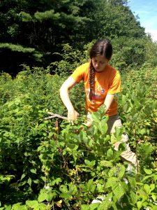 setting bowl traps in vegetation