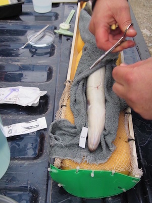 Acoustic tag on eel