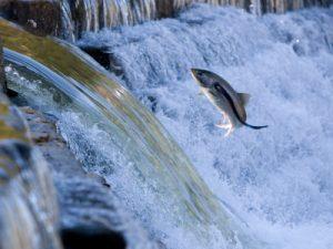 Salmon jumping dam