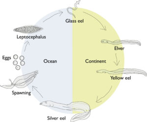 American eel life cycle