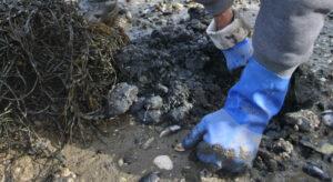 Digging shellfish in mudflat