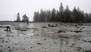 Clam flats and clammers with land and trees in background