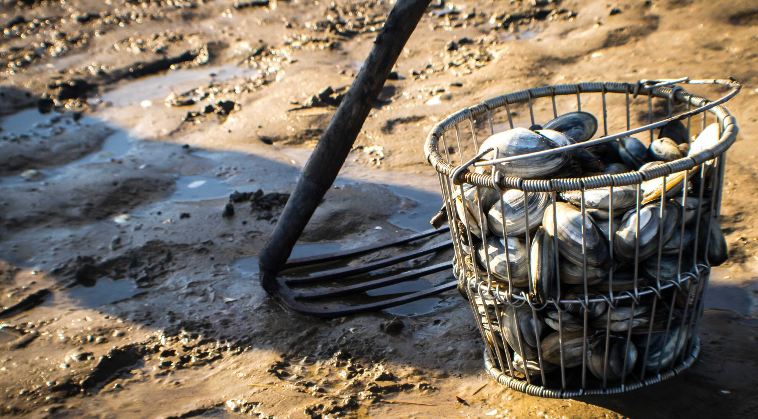 Maine clamflat, rake, basket with clams