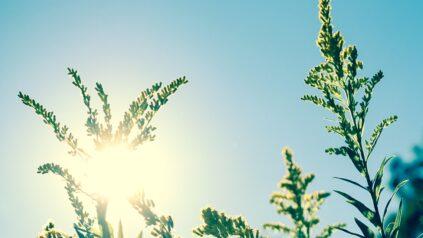 Sun rays through plants against blue sky