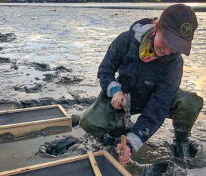 University of Maine graduate student Sarah Risley on mudflat using tool to install recruitment boxes for shellfish study