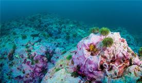 Aleutian Islands coral