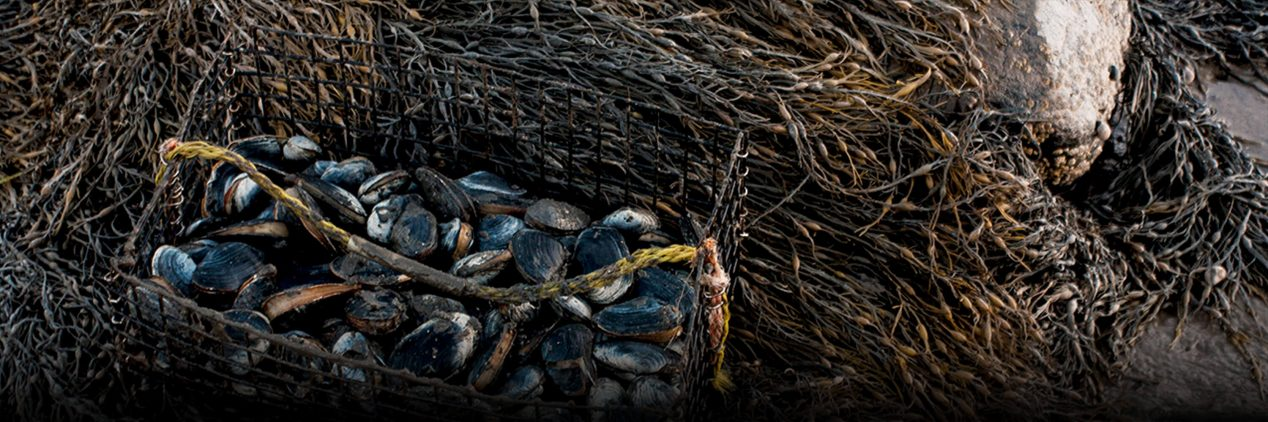 Clams in a basket sitting on seaweed