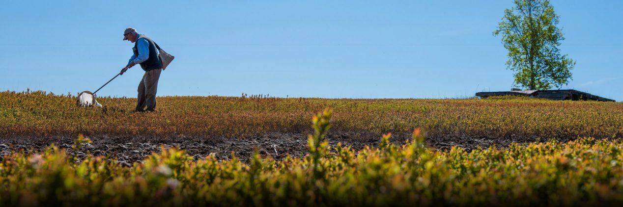 Man in blueberry field