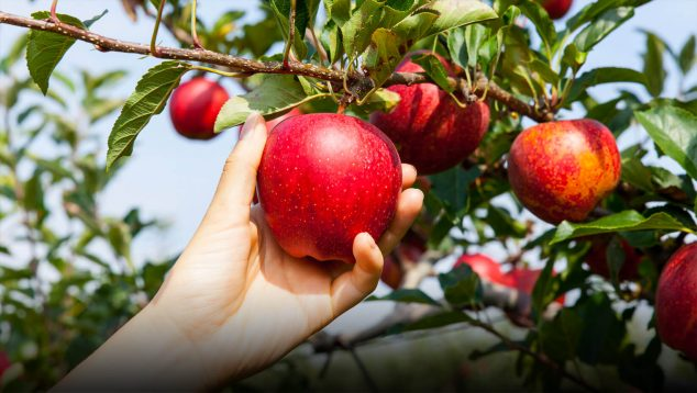 Hand reaching up to pick an apple from a tree